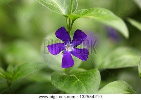 A flower of the bigleaf periwinkle (Vinca major).