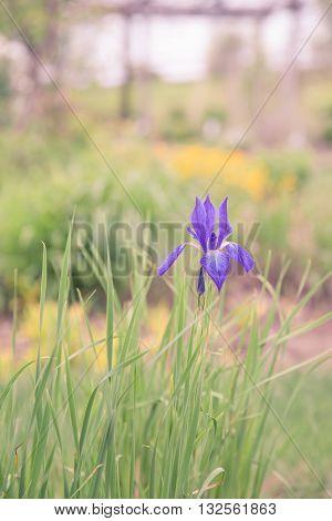 A single purple iris looking very regal in a spring garden.