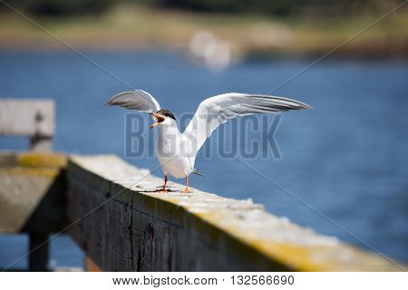 Forster's tern - Sterna forsteri, adult breeding, wings spread