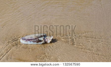 Dead squid on the beach and gentle waves