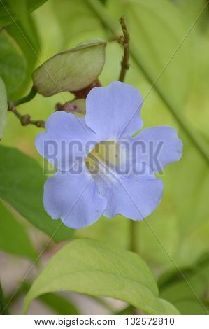 close up blue Thunbergia laurifolia flower in nature garden