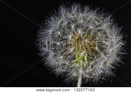 Dandelion Seed head (Taraxacum officinale) close up isolated against Black Backgrond