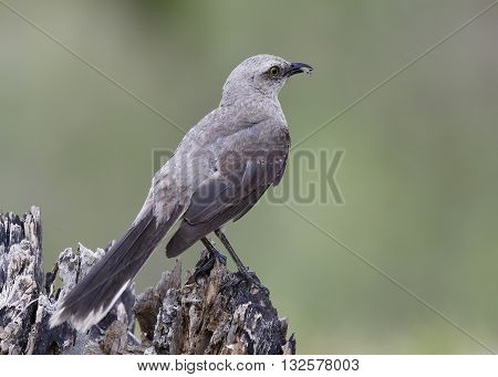 Tropical Mockingbird Eating A Gecko - Panama
