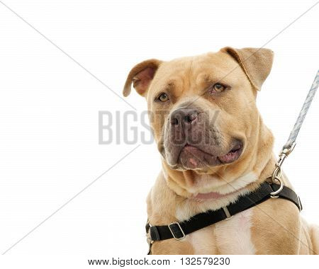 Chunky over weight light brown pit bull on a leash portrait isolated on white background. Big but friendly