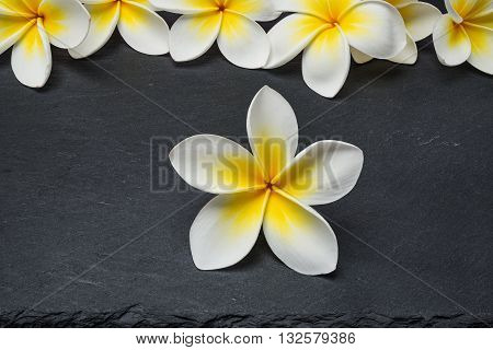 White Frangipani plumeria Spa Flowers on black stone slate background