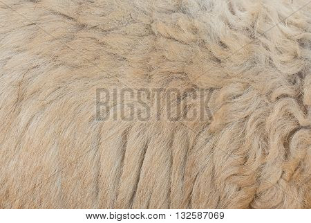 Sheep's wool is still on body. Pile of unprocessed high quality New Zealand merino wool