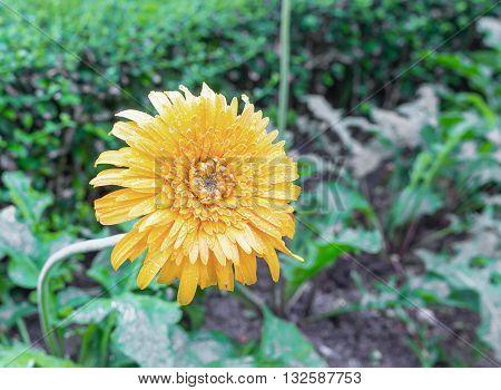beautiful flower Gerbera of the Gerbera genus. Yellow with water drops in the garden Barberton daisy Gerbera jamesonii