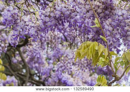 floral background blur a big beautiful  tree of purple wisteria blossoms in the park
