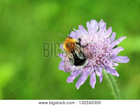 A macro shot of a bumblebee collecting pollen from a field scabious flower with place for your text. Shallow depth selective focus.