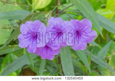 Ruellia flower Purple bloom in the morning. (Ruellia tuberosa Linn. Waterkanon Watrakanu Feverroot Popping pod) poster