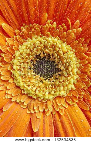 Marigold flower petals detail in orange and yellow tone. Botanical. Vertical