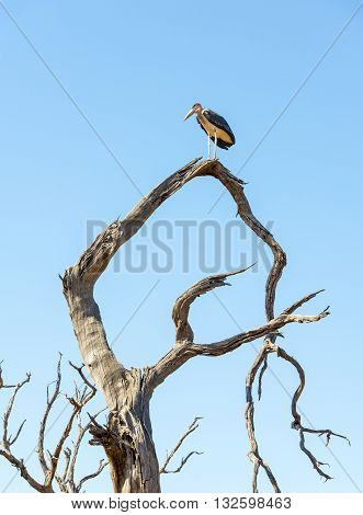 Marabou Stork Birds