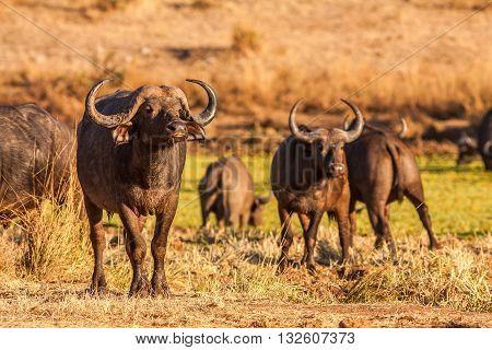 Herd of wild African cape buffalo in the okavango delta