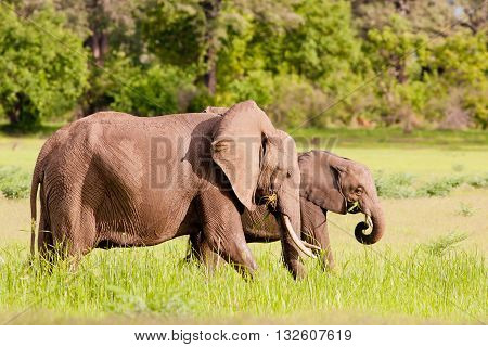 Wild African Elephants Drinking At A Waterhole