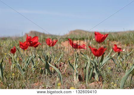 red wild tulips (Tulipa gesneriana Tulipa suaveolens Tulipa schrenkii) in desert near mount Big Bogdo. soft focus shallow DOF.