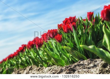 Closup of a field with red tulips