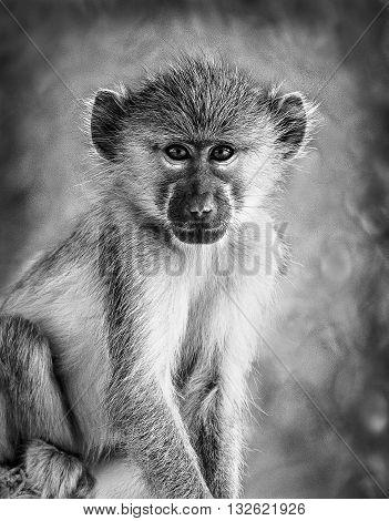 Vervet Grey Monkey In Black And White