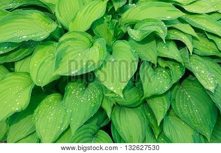 Background of green leafage after the rain