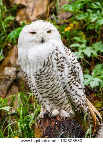 Snowy owl, Bubo scandiacus, sitting on the tree stump