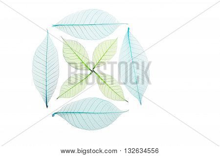 Circle of four blue dried skeleton leaves with cross of small green leaves decoration isolated on white background
