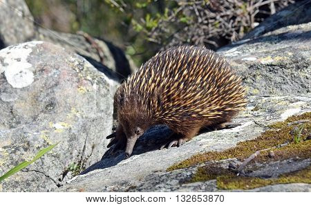 Australian Echidna searching for ants on sandstone rocks
