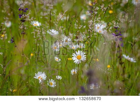 Closeup picture of a field meadow with beautiful different kind flowers and grasse