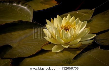 Picture of beautifull yellow Waterlily on water