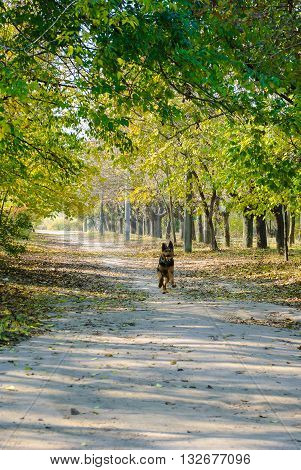 Shepherd dog running along the path of the autumn park