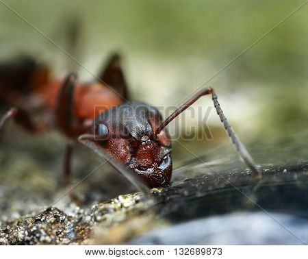 Strong jaws of common red ant face closeup macro