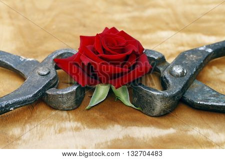 Blooming Red Rose Clutched In Forceps, Abstract Background