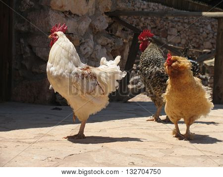 Group of three pacing roosters of white brown and ginger colors