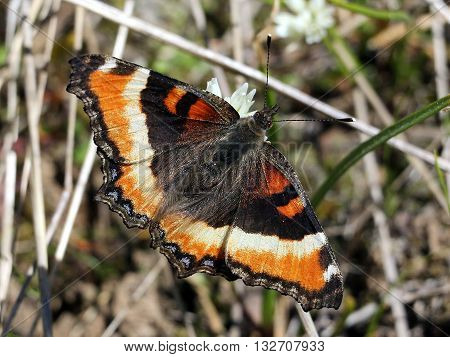 A Milbert's Tortoiseshell Butterfly with a grassy background