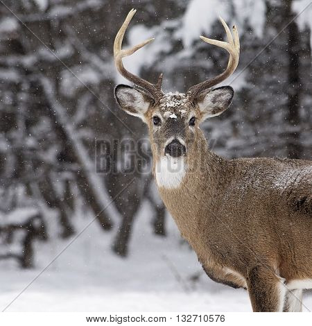 Close up head and shoulders image of a large white-tailed deer buck, with winters snow coming down, looking at the camera.