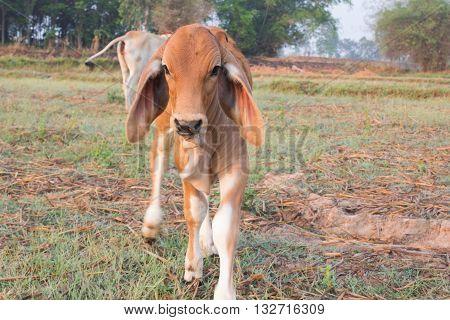 Beautiful a little calf in green grass