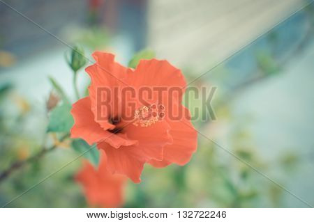 Beautiful Red Chinese Rose Flower
