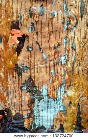 Colourful Australian gumtree bark with rainwater running down its trunk creating stripes
