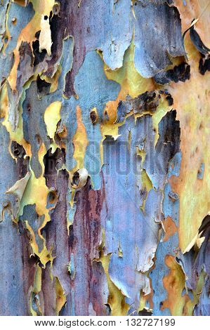 Australian gumtree shedding its colorful blue and purple winter bark to reveal fresh yellow and pink spring bark
