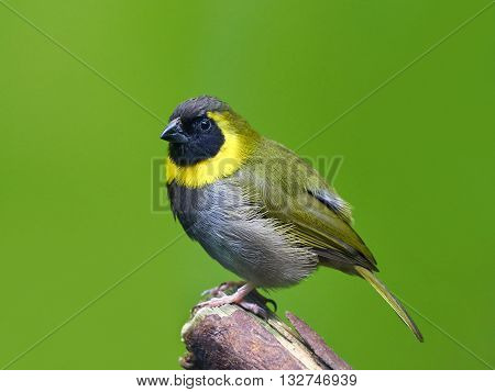 Cuban grassquit (Tiaris canorus) sitting on a branch isolated on a green background