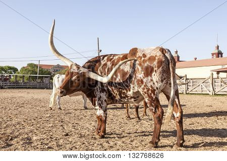 Young Texas Longhorn steer with white and brown markings