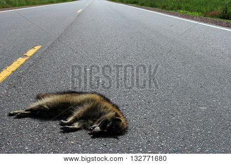 Raccoon roadkill laying on a rural highway with the road as the background