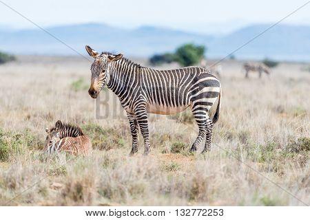 A mountain zebra mare Equus zebra zebra with foal laying in grass near Cradock in South Africa