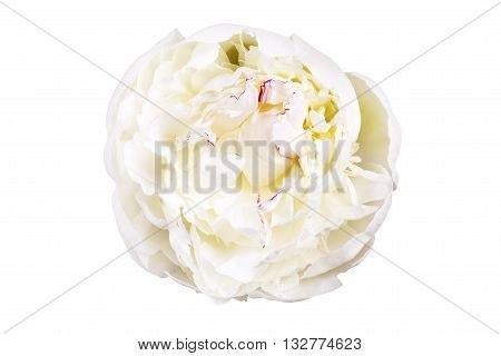 White lily prominent peony flower isolated on white background