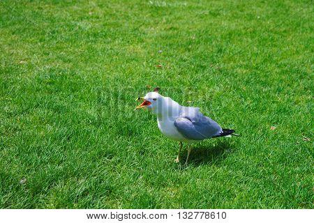 Seagull On The Grass In Niagara Park At Niagara Falls