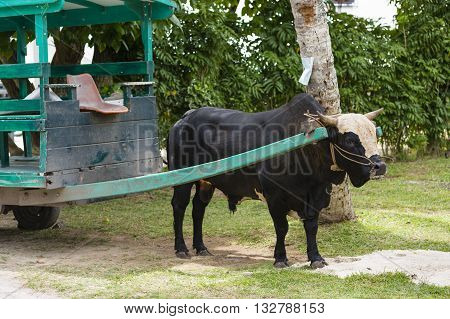 Ox Cart In La Digue, Seychelles