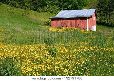 yellow flowers cover the field beside a small red barn