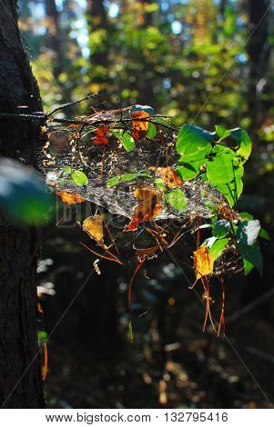 Clot web with leaves on the birch