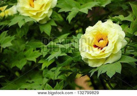 A yellow tree peony blooming within a garden in Jingshan Park in Beijing China.