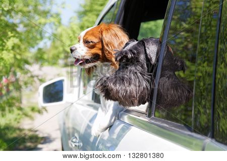 Two dogs - King Charles Spaniel and Zwergschnauzer look out the open car window