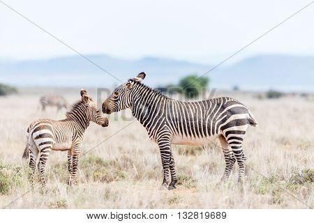 A mountain zebra mare Equus zebra zebra with foal near Cradock in South Africa