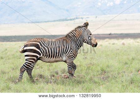 A mountain zebra Equus zebra zebra partially covered in dried mud near Cradock in South Africa